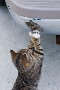 Brown tabby kitten with white paws standing up and playing with his reflection in the chrome of a car bumper