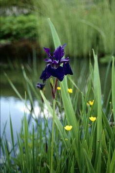 Iris delavayi RHS/Herbarium - some ideas for creating a bog garden