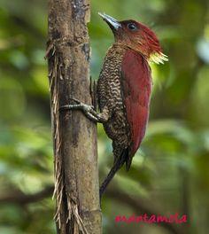 Beautiful Banded Woodpecker