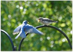 Eastern Bluebird father and fledgling