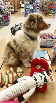 Toy shopping!! australianshepherdworld Mini Australian Shepherds, Australian Shepherd Puppies, Aussie Puppies, Cute Puppies, Cute Dogs, Funny Dog Toys, Best Dog Toys, Paws And Claws, Dog Care
