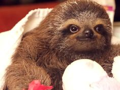 Adorable baby sloth is melting hearts