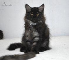 Un chat norvegien, c'est quoi exactement ? Son physique, son caractere, son entretien, ses couleurs, tout savoir sur ce chat fabuleux