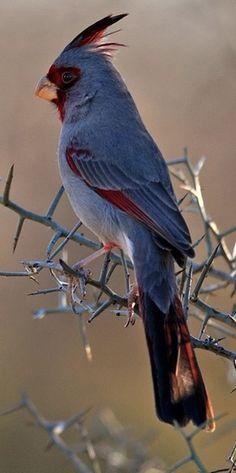 Desert Cardinal. Not all cardinals are red....