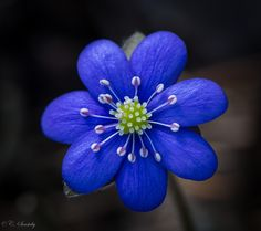 Blue blue Anemone | Flickr - Photo Sharing!