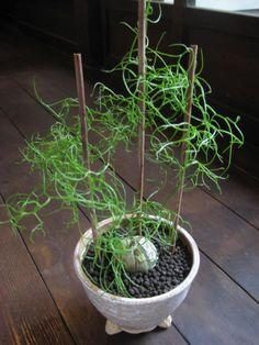 樹々丸 Botanical & Planning   Bowiea volubilis
