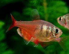Flame Tetra (Hyphessobrycon flammeus) #tropicalfishaquariumfreshwater