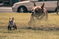 Dramatic Portraits of Dogs Pooping by Brock Daves via The Bold Italic. So wrong, it's right. Bold Italic, Dog Bag, Beautiful Sunrise, Be Bold, Dog Pictures, Boston Terrier, French Bulldog, Drama, Pets