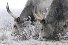 Hungarian Grey cattle (Bos taurus, domestic cattle). Scottish Highland Cow, Highland Cattle, Scottish Highlands, Be A Nice Human, Life Design, Farm Animals, Taurus, Mammals, Best Dogs
