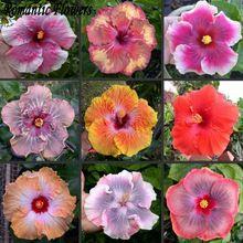 50 Partículas/Gigante bolsa de Flor de Hibisco Semillas de Okra Flor Hibiscus Plantas En Maceta Bonsai Garden & Home Perenne Semilla de la Hierba(China (Mainland))