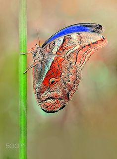 Owl butterfly caligo ... - null