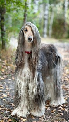 Afghan with beautifully hair! (by Mariana Mikhailova on 500px) -:-:-:- This dog is SUCH a valley girl!