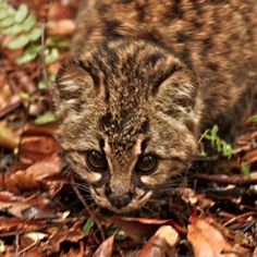 kodkod cat - Very difficult to see, the kodkod, or guiña, is specialized for life in the woods, and able to catch mice by the light of the moon