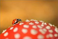 Lady Bug by Sandra Bartocha Beautiful Creatures, Turtle, Ladybugs, Photography, Mushrooms, Angels, Art, Inspiration, Pictures