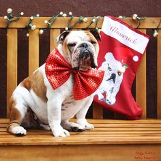 Baggy Bulldogs - ♥ Happy Holidays ♥ See the complete Bulldog Xmas. British Bulldog, French Bulldog, English Bulldogs, Christmas Animals, Christmas Dog, Bulldog Rescue, Big Love, Cute Faces, Merry Xmas