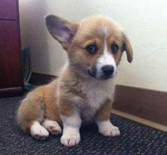 Oh my gosh one ear is floppy and the other isn't. Aweee