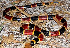 how common are coral snakes in florida - Google Search...this is a bad one.  note markings.  Black nose, then black yellow red