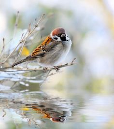 The male of a House Sparrow ( Passer domesticus ) on a twig over a spring flood Poster Poster. Little Birds, Love Birds, Beautiful Birds, House Sparrow, Sparrow Bird, Animals And Pets, Cute Animals, Art Aquarelle, Bird Pictures