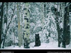 Black Wolf Ely MN