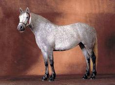 Nire Valley Liath Connemara Pony, Pony Breeds, Palomino, British Isles, Dog Cat, Horses, Dark, Animals, Amazing