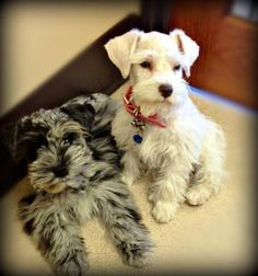 Oh man if I ever get another schnauzer I want a Merle Schnauzers, Toy Schnauzer, Schnauzer Grooming, Puppy Grooming, Miniature Schnauzer Puppies, Teacup Puppies, Teacup Chihuahua, Fox Terriers, Cute Puppies