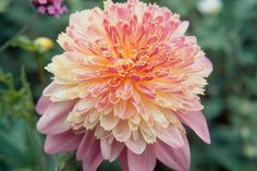 Plant profile of Dahlia 'Lambada' on gardenersworld.com
