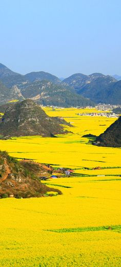 Canola flower fields, China yoga scenery - http://amzn.to/2iaVqk0