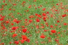 Poppy Field - Since poppies grow abundantly within and around the war cemeteries in Northern France and Belgium, the flower has come to be the symbol of mourning and respect for those who have died or suffered during wars and conflicts across the world.