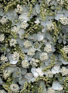 viburnum plicatum forma tomentosum 'shasta', leucothoe fontanesiana, spiraea x vanhouttei, aquilegia. horticultural art.