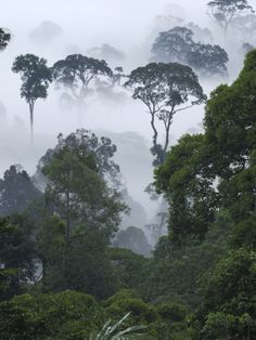Dawn with Fog at Lowland Rainforest, Danum Valley Conservation Area, Borneo, Malaysia