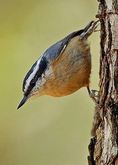 The Red-breasted Nuthatch makes a funny repetitive honking call and can often be found on tree trunks and branches.   Photo by Robert Kemmerlin
