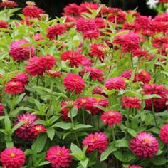Here it is, the bedding Zinnia of our dreams! The Zahara series introduced in 2009 immediately became famous for its resistance to mildew and leaf spot, its nonstop blooms, and its larger flower size. Now we're delighted to announce a double-flowered cherry colored variety that will be the envy of the neighborhood. It has just won a 2010 AAS award, and it's waiting to transform your sunny garden into a sea of brightest red! These blooms are fully 2 ? inches wide, and there's more of them…