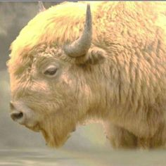 The White Buffalo are sacred to many Native Americans. The Lakota (Sioux) Nation has passed down the The Legend of the White Buffalo--a story now approximately 2,000 years old--at many council meet...