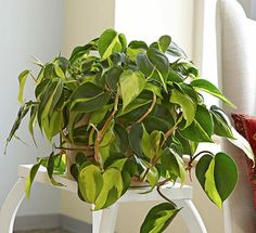Philodendron brasil offers a colorful twist on a plant.Philodendron brasil are one of the easiest tropical plants to grow indoors. Easy Care Indoor Plants, Indoor Plants Low Light, Indoor Flowers, Plants Indoor, Indoor Climbing Plants, Fast Growing Vines, Decoration Plante, Cool Plants, Inside Plants