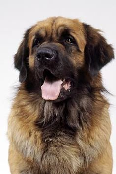 A family in our neighborhood owns a Leonberger.  We finally got to meet him tonight on a walk.  He was soft as silk and came up to my waist!