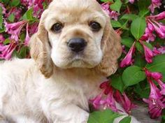 I want a blonde cocker spanielle soooooooooo bad! named Charlie (w/british accent)