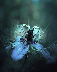 It's that time of year again💙  -  #nigella #jomfruidetgrønne #loveinthemist #flowersandmacro #ptk_flowers #ptk_macro #fiftyshades_of_nature #fiftyshades_of_macro #jj_indetail #allwhatsbeautiful #top_macro #infinity_flower