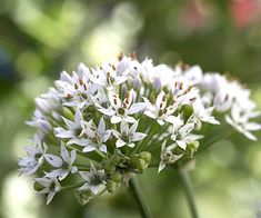Try growing Garlic Chives to add flavor to homemade guacamole! More grow a salsa garden: http://www.bhg.com/gardening/vegetable/vegetables/grow-a-salsa-garden/?soscrc=bhgpin080913garlicchives=6