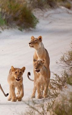 ✿❀Two lioness with cubs, Nossob Camp, Kgalagadi Transfrontier Park ✿❀
