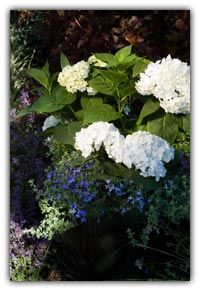 Blooms all summer and grows on old and new growth. Zone 5 (plant next to house and overwinter) Blushing Bride Hydrangea, Zone 5 Plants, Hydrangea Flower, Flowers, Endless Summer Hydrangea, Chameleon, Pure White, Beautiful Roses, Summer Collection