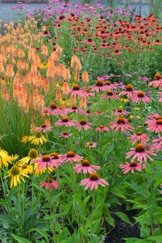 NGB Celebrates 2014 as Year of the Echinacea. Doesn't this pink Echinacea combine well with orange Kniphofia?
