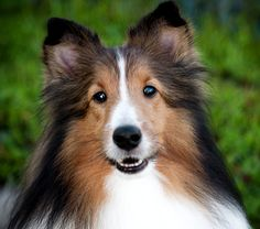 <3 <3 <3 Shetland Sheepdogs or Shelties are energetic dogs always willing to please and work hard. They descend from dogs used in the Shetland Isles of Scotland for herding and protecting sheep. I've had several Shelties, including two now, and love them to pieces!