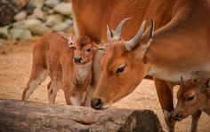 """A rare banteng calf, named Jasmine, has been born at Chester Zoo. The Banteng is a wild forest-dwelling member of the cattle family. It is listed as """"Endangered"""" by the International Union for the Conservation of Nature (IUCN"""
