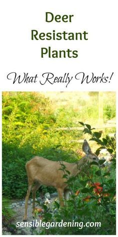 Favorite Deer Resistant Plants with Sensible Gardening. What really works!