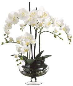 Phalaenopsis Orchid Accent