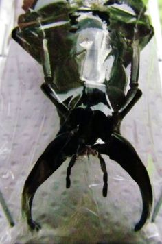 """Giant Stag Beetle Dorysthenes walkeri 75mm 3"""" Male Insect FAST SHIP FROM USA"""