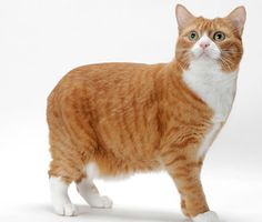 Get the facts on the Manx, a tailless and often friendly and affectionate cat breed that tends to be athletic and playful.