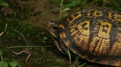 The Eastern Box Turtle Documentary (This is a 13 minute video)  The Eastern Box Turtle (Terrapin Carolina Carolina) The only turtle that the male has bright red eyes, while the female has brown eyes.... Isn't that cool. I used to catch them all the time when I was a kid in the woods buy my house. I have not seen one in over twenty years their though. They are listed as endangered in some states.