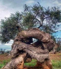 Natur tree trunks Vacuums The Importance of Attachments Article Body: Weird Trees, Twisted Tree, Unique Trees, Old Trees, Tree Trunks, Tree Photography, Tree Forest, Olive Tree, Tree Art