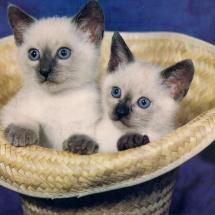 Siamese  kittens cute